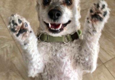 #puppytraining, #dogsofbarkbusters, ##poodle, #cute #dogs