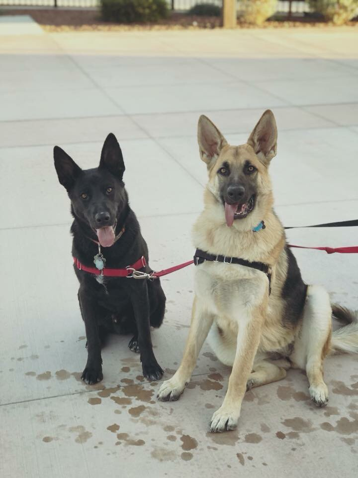 #germanshepherdtraining, #dogtrainingbarkbusterslasvegas, germanshepherddogtrainers