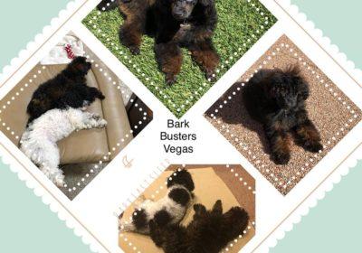 #toypoodle #dogtraininglasvegas, #bestdogtrainers