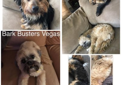 #llasoapso #yorkie #siblingrivalry #dogsofbarkbusters