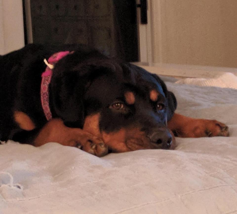 #rotteweilerdogtraining #derek anovick #dogsofbarkbusters #dogtraininglasvegas