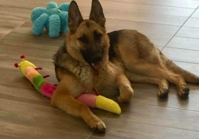 #germanshepherdtraining #bestdogtrainerslasvegas #dogsofbarkbusters